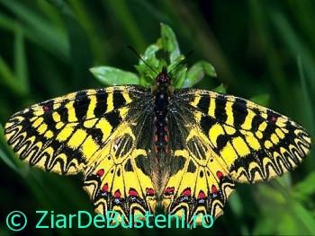 0024Zerynthia polyxena
