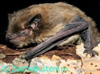 0049nathusius-pipistrelle
