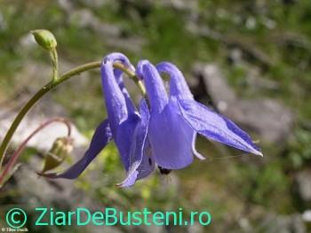 0072Aquilegia nigricans subsp. subscaposa