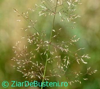 0128Agrostis_capillaris