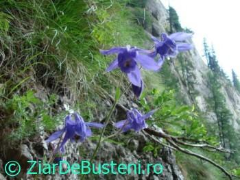 0133caldarusa alpina