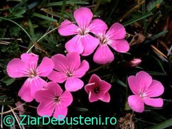 0154Dianthus glacialis ssp.gelidus