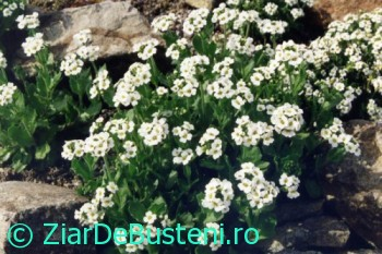 0156Draba_fladnizensis