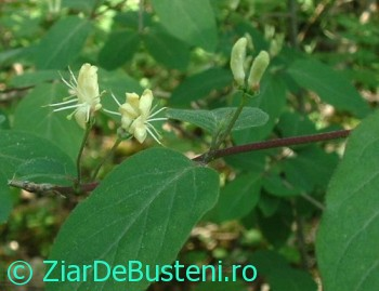 0171Lonicera_xylosteum