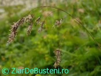 0178Poa granitica ssp. disparilis