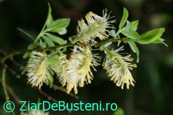 0184salcie phylicifolia
