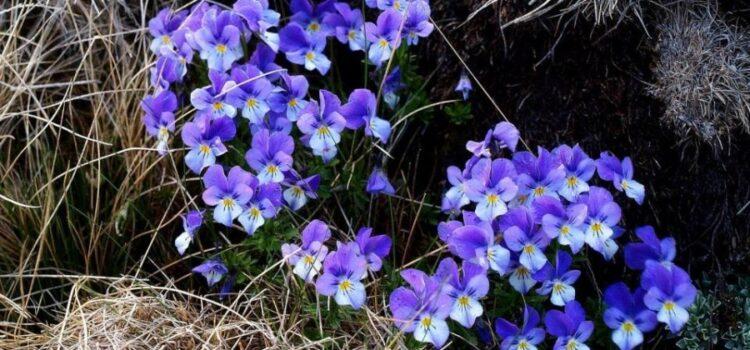 Flori in Bucegi – Sit Natura 2000 partea a – II – a