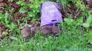 Fiți prudenți, ursoaica probabil il caută prin Bușteni
