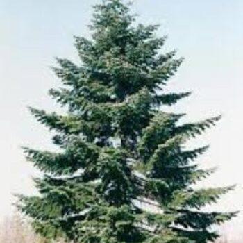 Arbori si arbuști in Bucegi – Sit Natura 2000