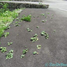 """Bușteni oraș """"glumițienesc"""" -Brusturele de asfalt, panseluța de gunoi, Ședință ordinară in 24.06.2019"""
